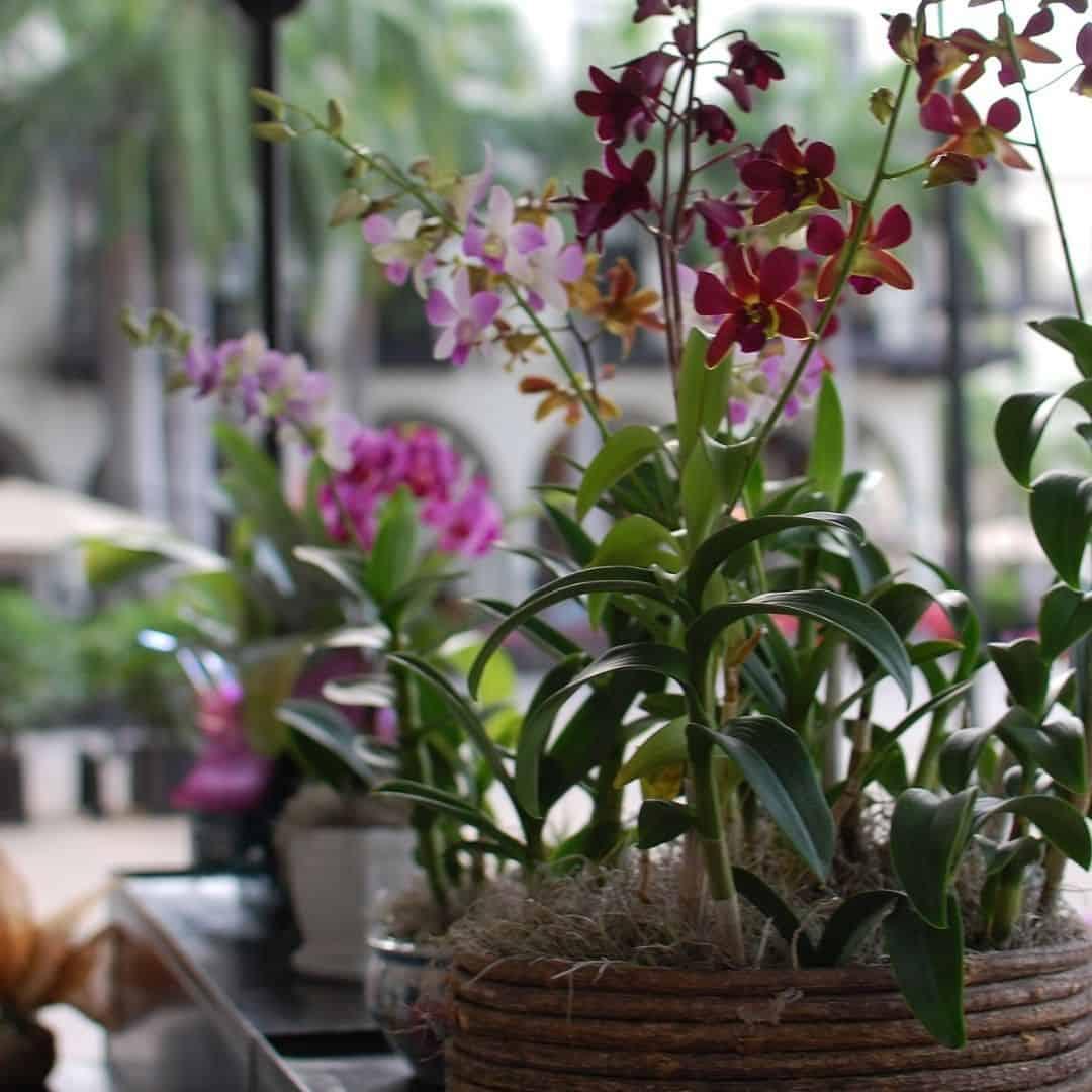Existem algumas dificuldades de como cultivar orquídeas em apartamento que precisam ser superadas para obter sucesso.