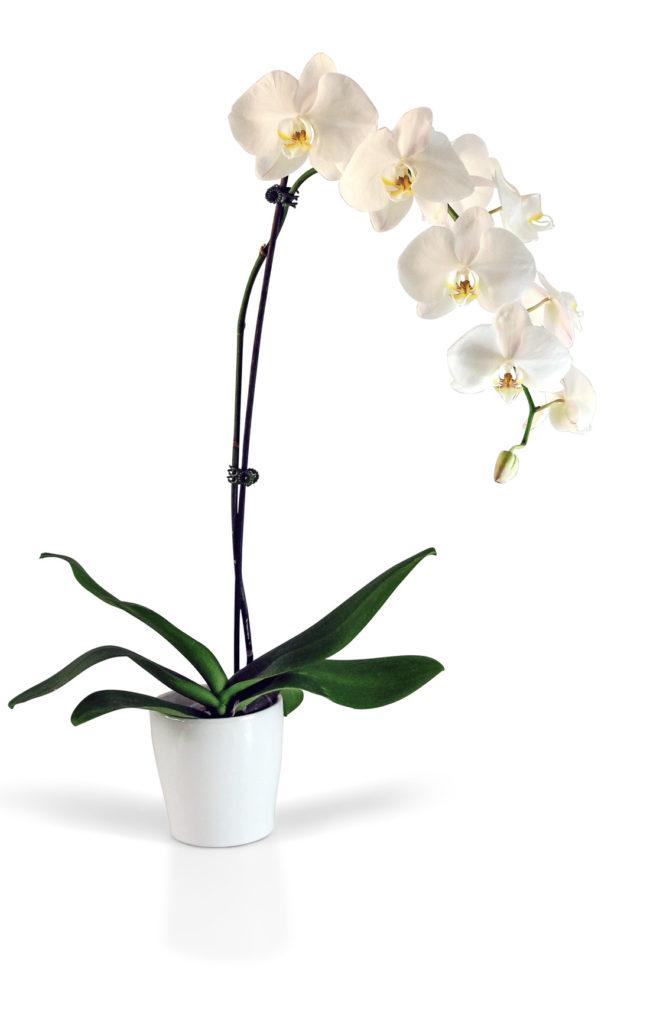 orquidea branca no vaso