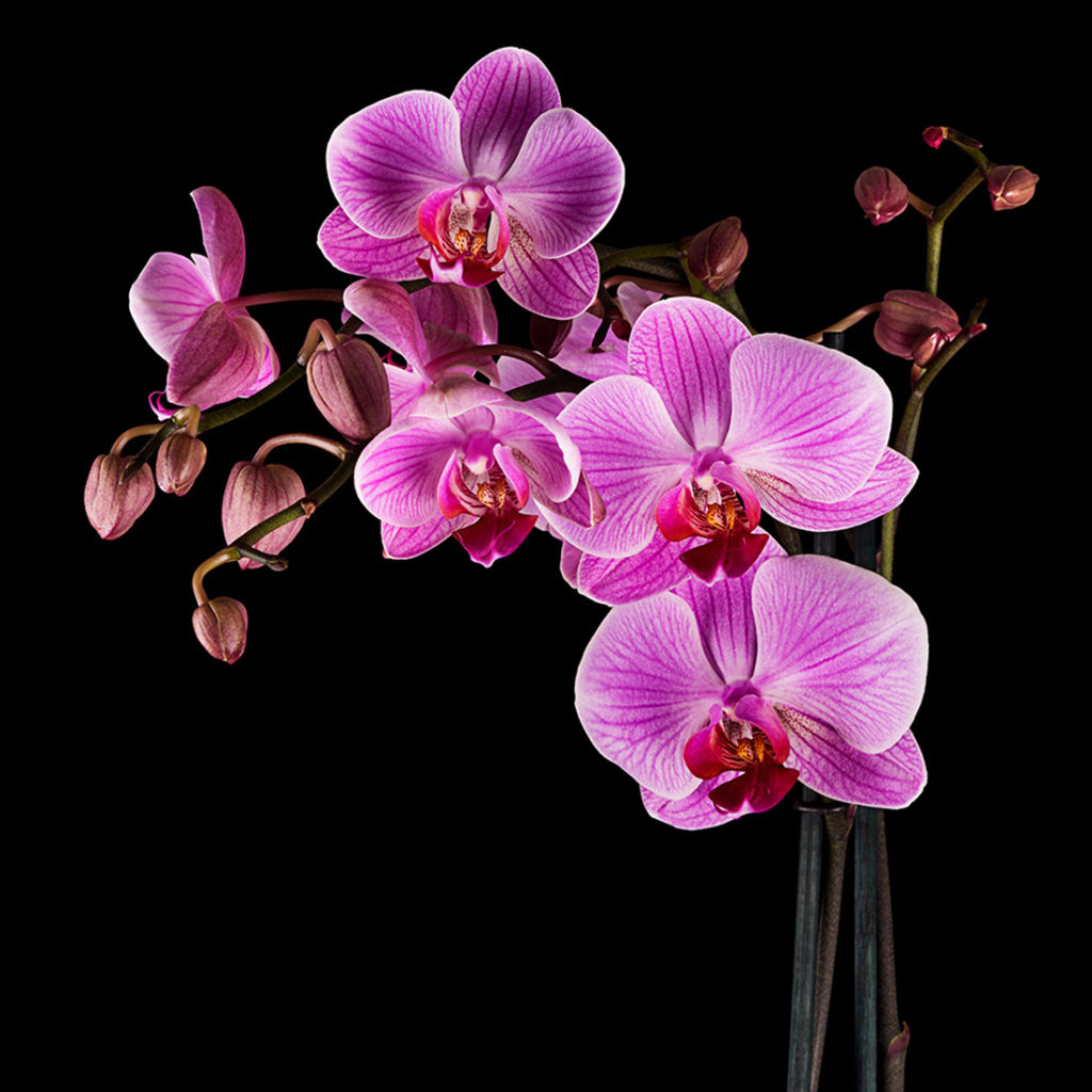 fundo preto com orquidea rosa