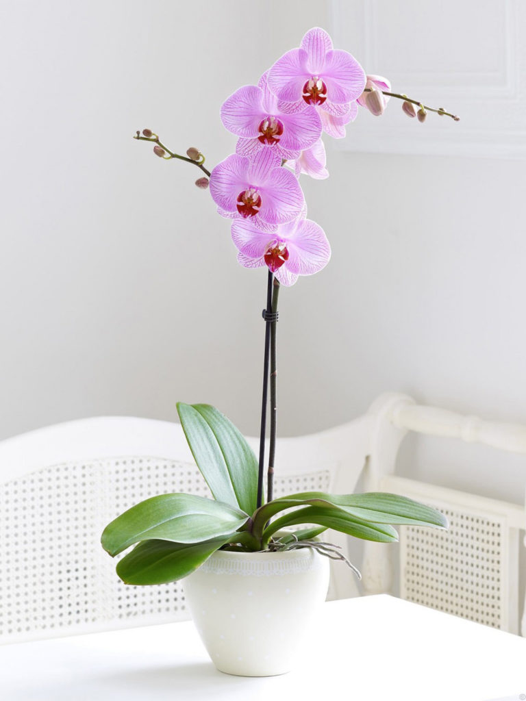 orquidea rosa no vaso em cima da mesa