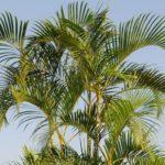 Palmeira Areca 2