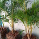 Palmeira Areca 3