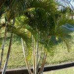 Palmeira Areca 4
