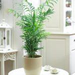 Palmeira Camedórea Elegante 2