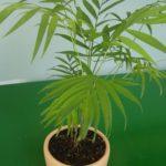 Palmeira Camedórea Elegante 3