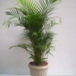 Palmeira Camedórea Elegante 4