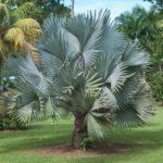 como plantar palmeira fenix Luxo Palmeiras Todos Tipos Plantas Em Geral Plantas para Jardim no