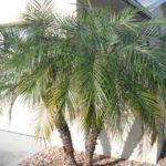 Palmeira Fênix 3
