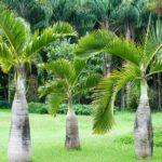 Palmeira-Garrafa