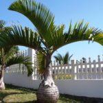 Palmeira Garrafa 2