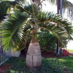 Palmeira Garrafa 3