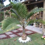 Palmeira Garrafa 4