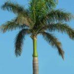 Palmeira Imperial 2
