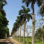 Palmeira Imperial 3