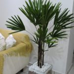 Palmeira Ráfis 2