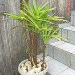 Palmeira Ráfis 3