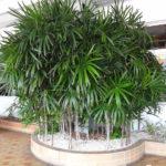 Palmeira Ráfis 4