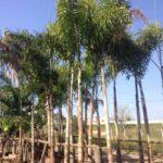 Palmeira Rabo de Raposa 2