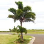 Palmeira Rabo de Raposa 4