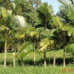 Palmeira Real 2