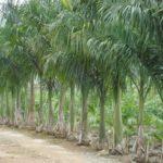 Palmeira Real 4