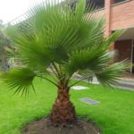 Palmeira Washingtonia 2