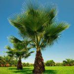 Palmeira Washingtonia 4