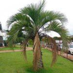 Palmeira triângulo 3