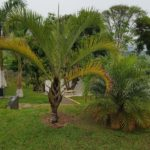 Palmeira triângulo 4