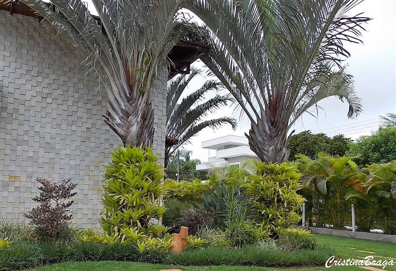 Palmeira triângulo