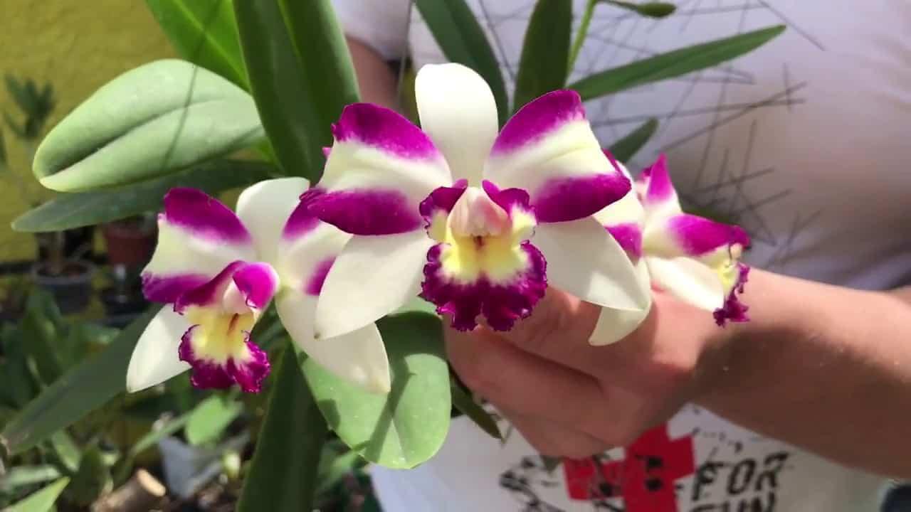 Tipos de orquídeas dendrobium aggregatum