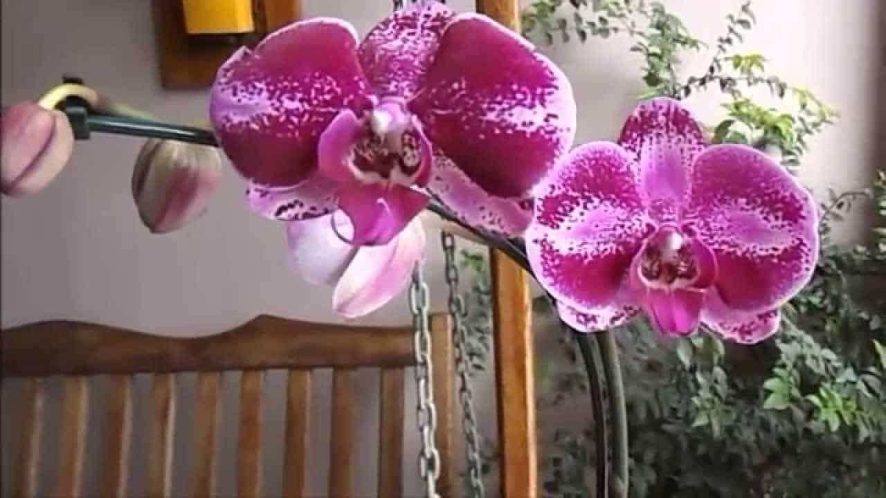 tipos de orquídeas: phalaenopsis