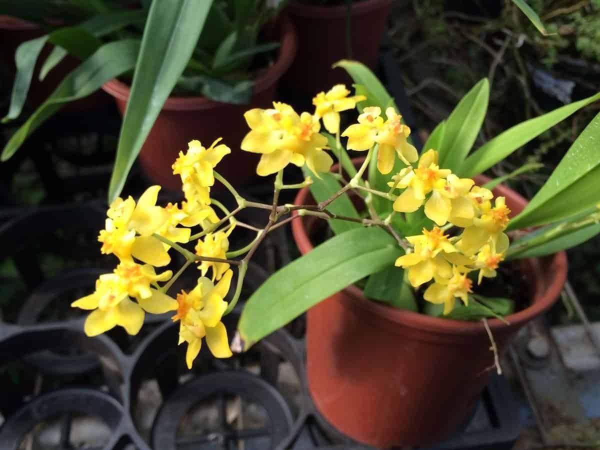 Tipos de orquídeas: Oncidium twinkle yellow.