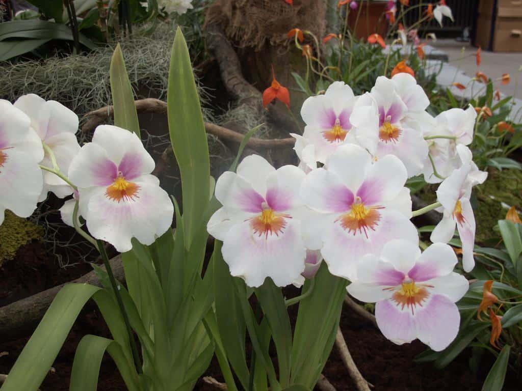 Tipos de orquídeas: Miltônia.