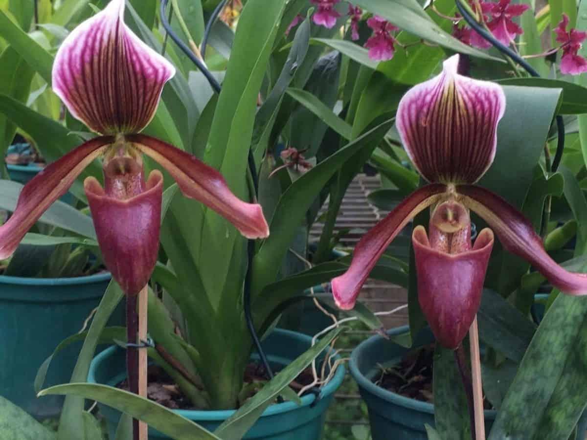 Tipos de orquideas: Paphiopedilum maudiae coloratum