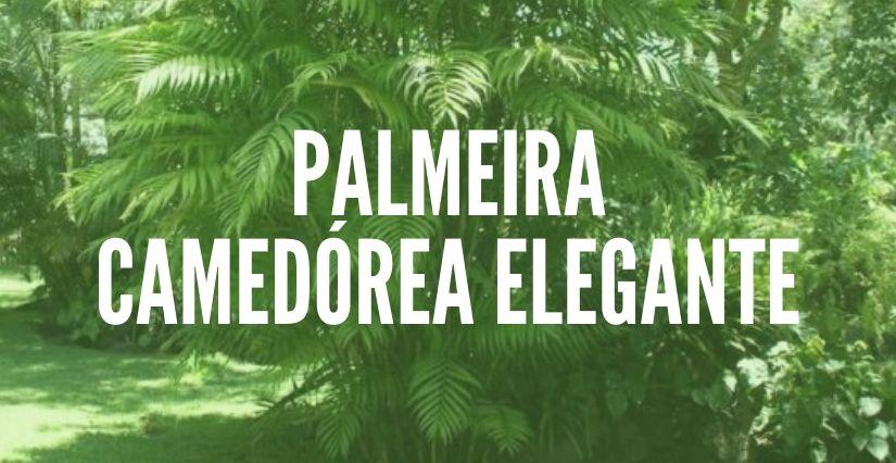 Palmeira Camedórea Elegante