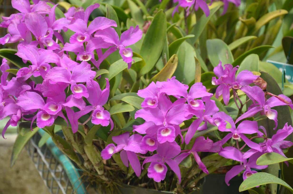 Resultado de imagem para orquídea-grapete