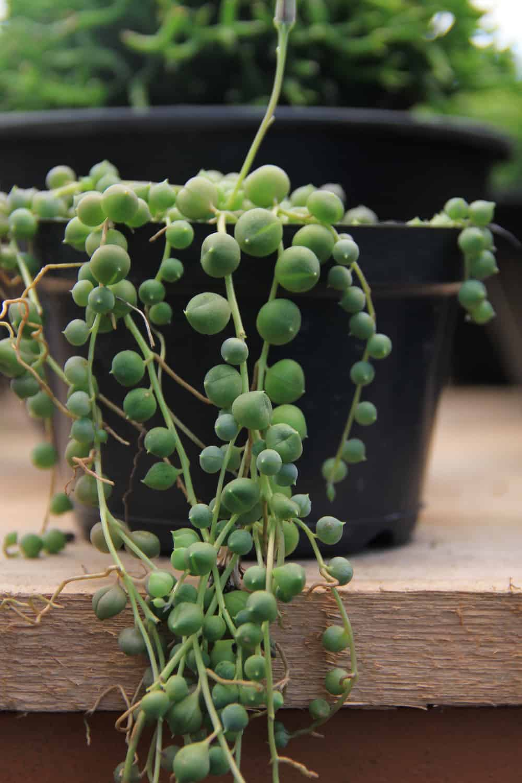 Resultado de imagem para colar-de-pérolas planta