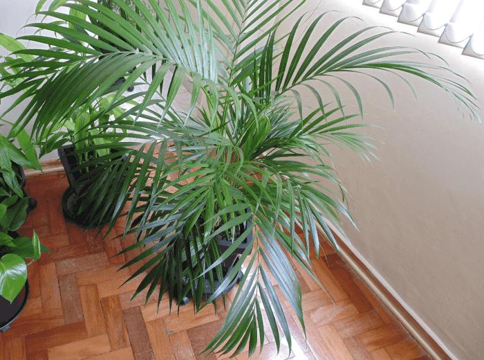 Resultado de imagem para palmeiras areca volumosa