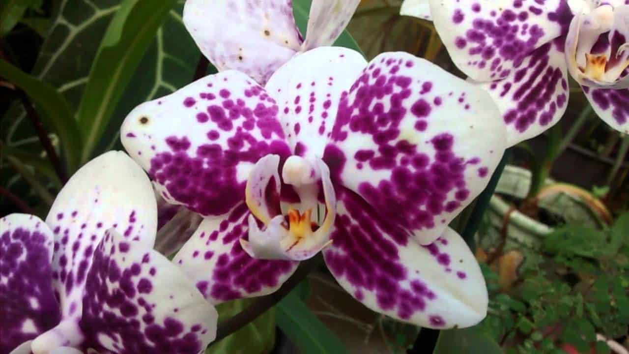 Como fazer mudas de orquídeas Phalaenopsis.