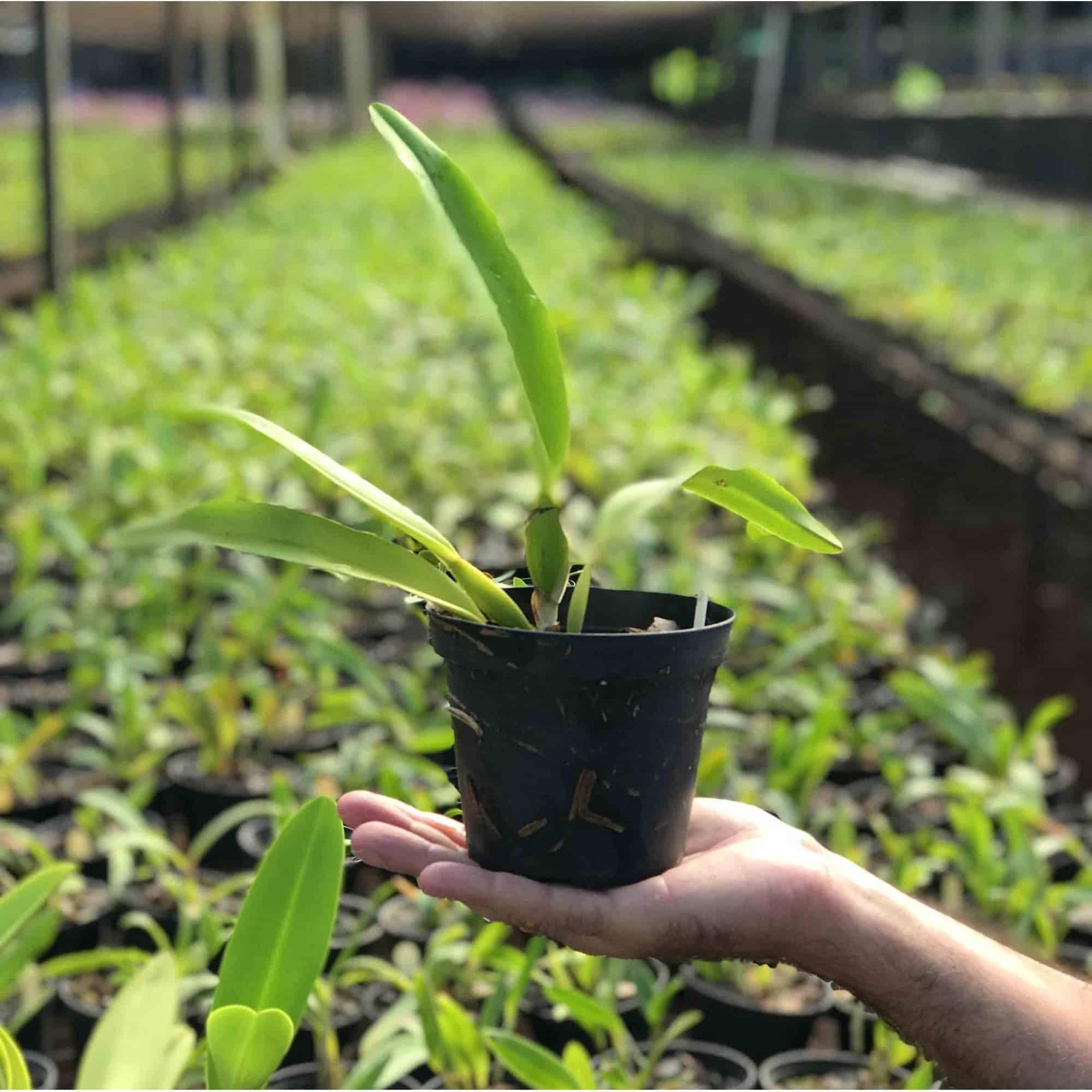 Como fazer mudas de orquídeas: keikis