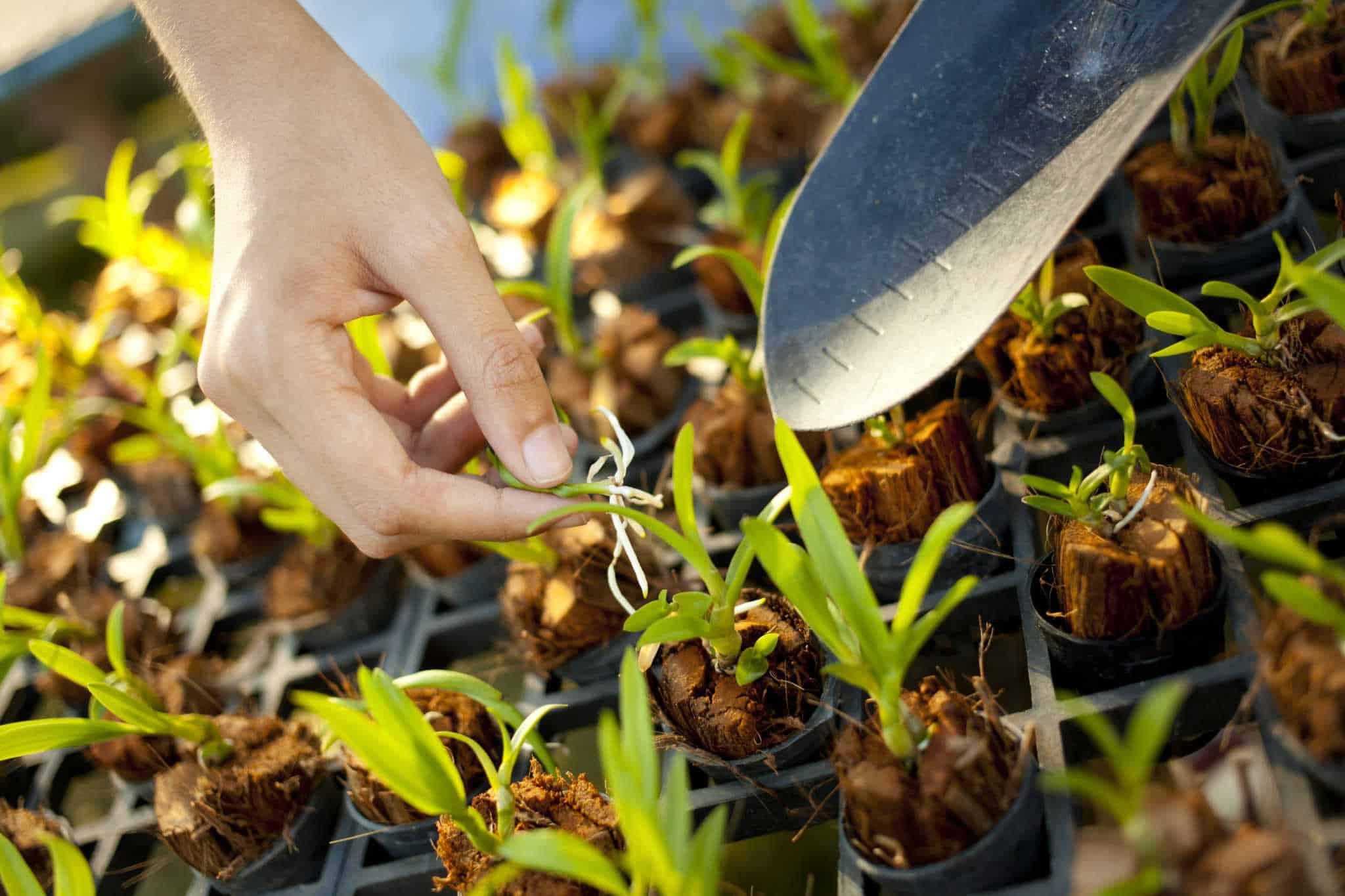como fazer mudas de orquídeas