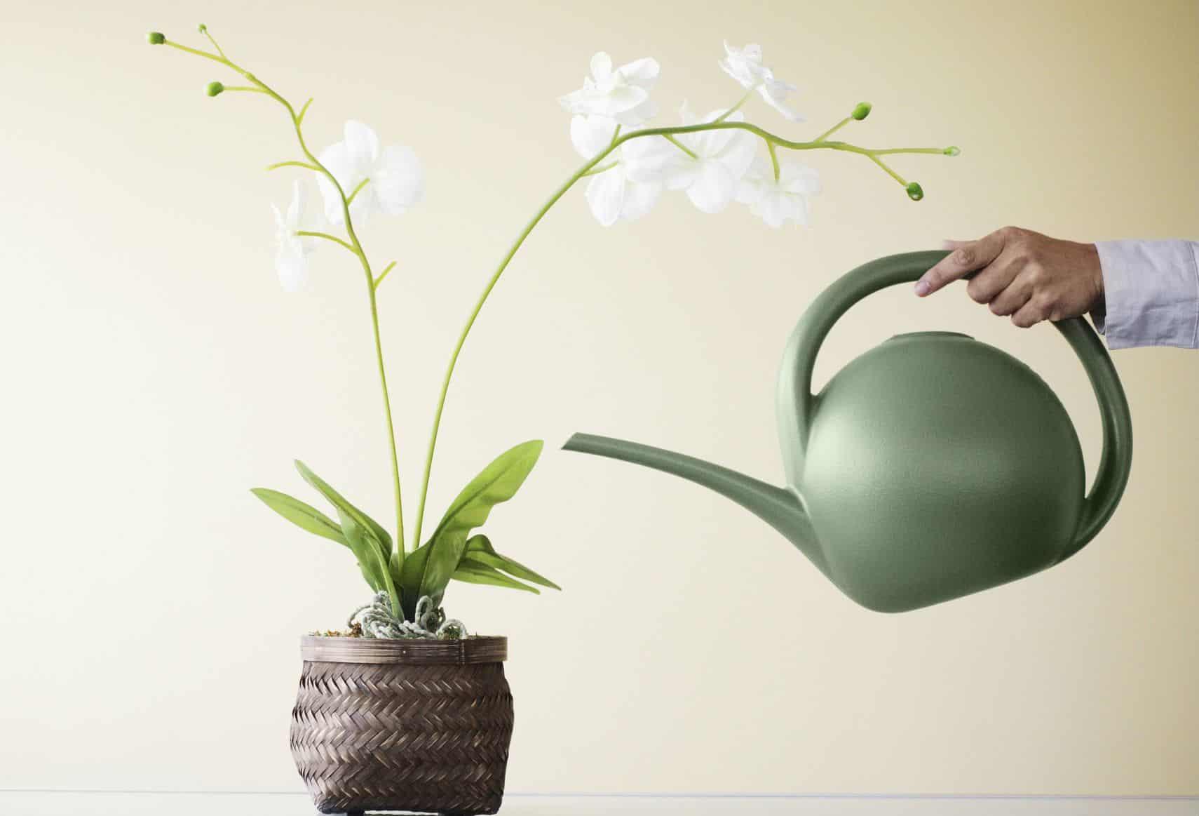 como regar orquídeas