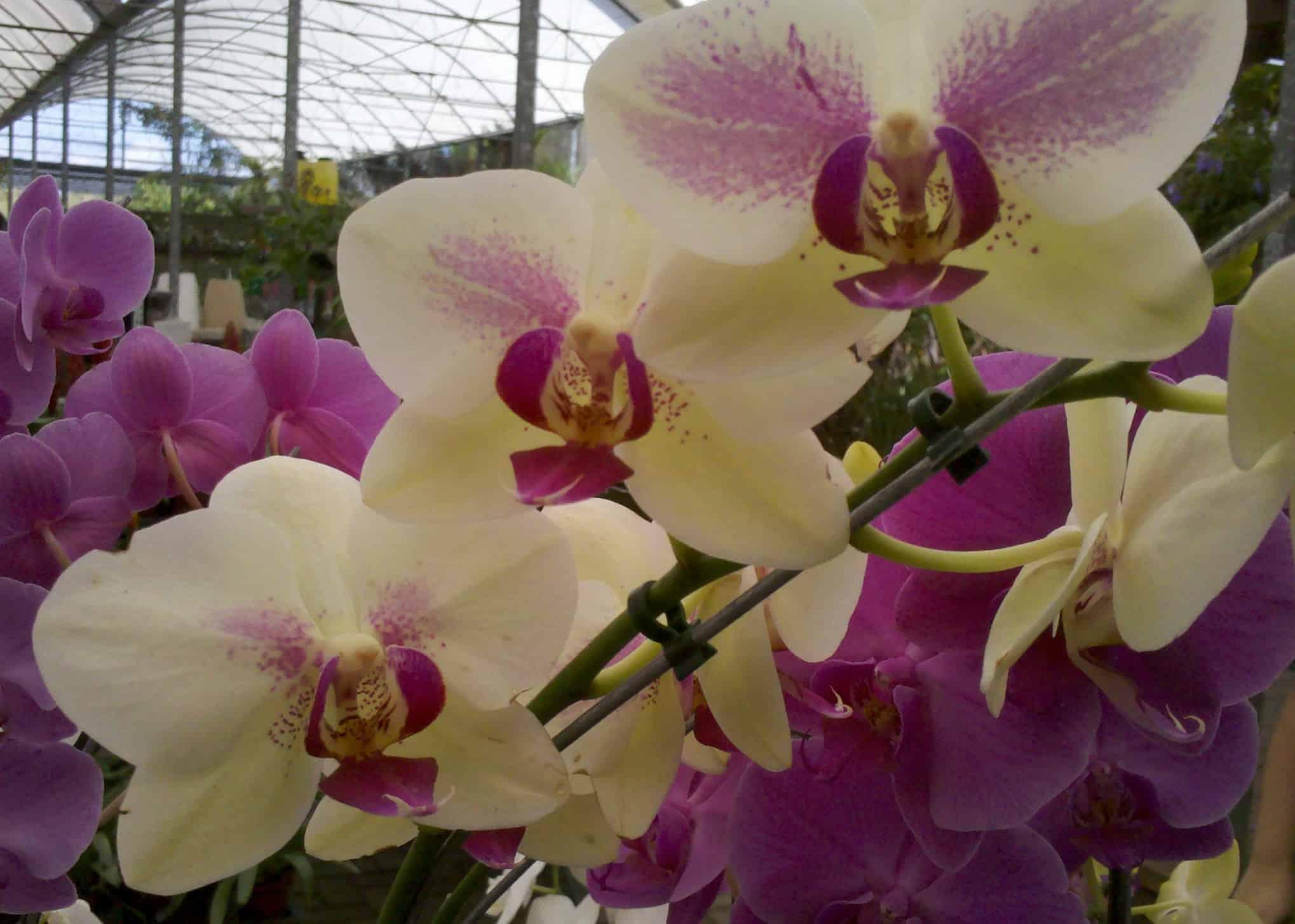 Cada espécie terá um forma de como regar orquídeas.
