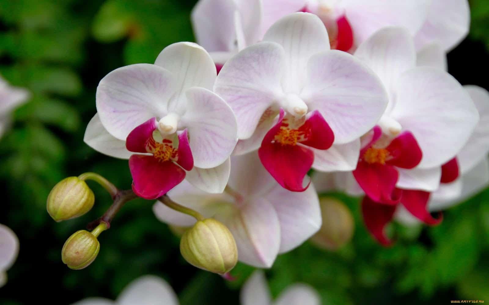 Para saber como regar orquídeas corretamente observe a aparência das folhas e flores.