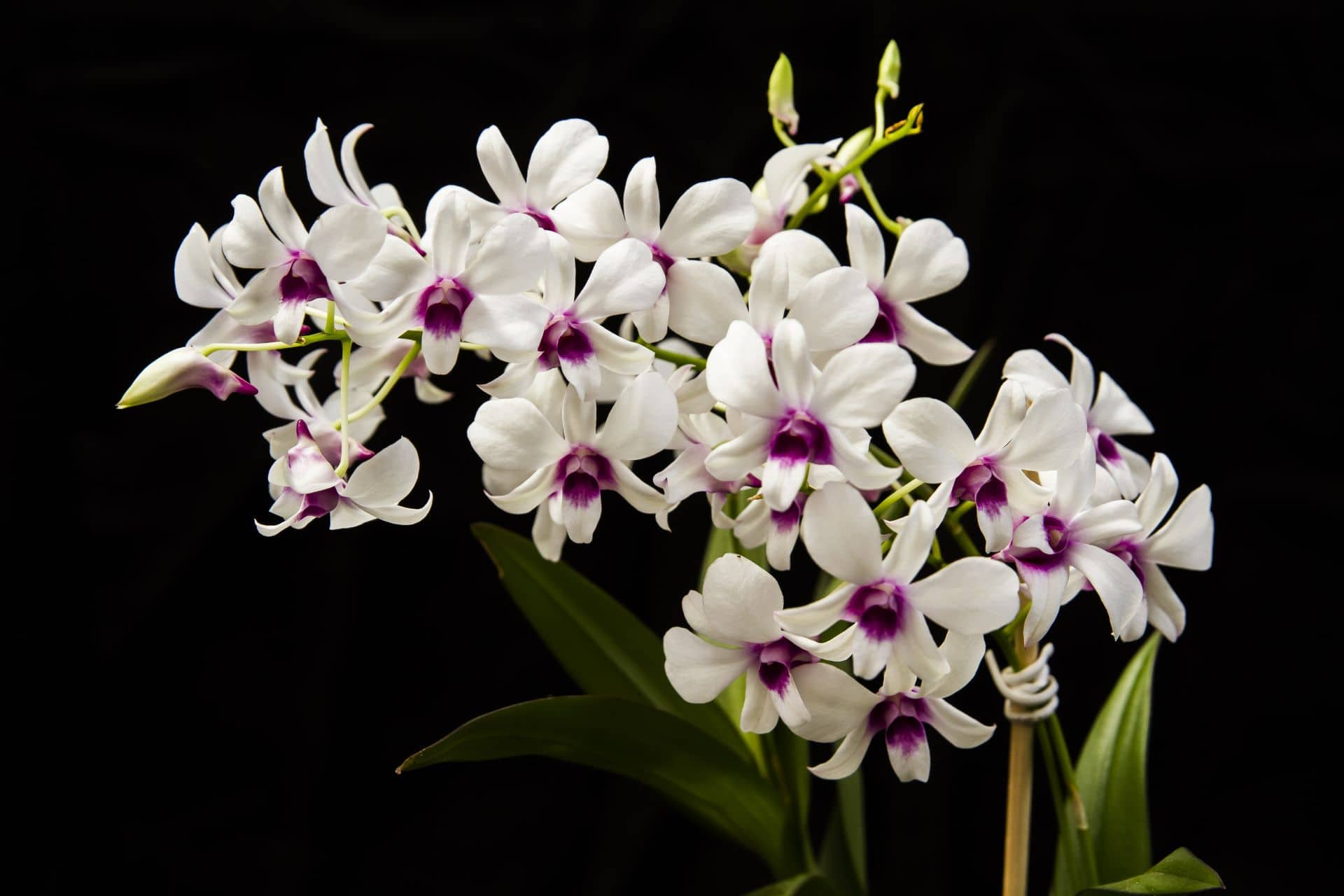 Como regar orquídeas envolve muito mitos e equívocos.