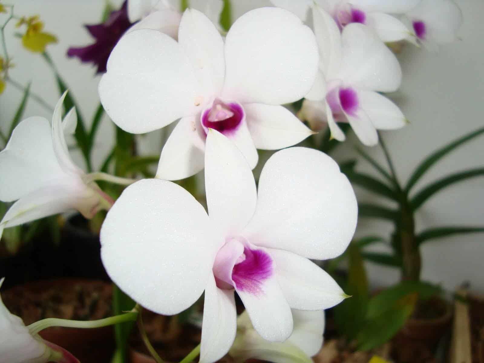 Não há restrições quanto à decoração de ambinetes com orquídeas brancas.