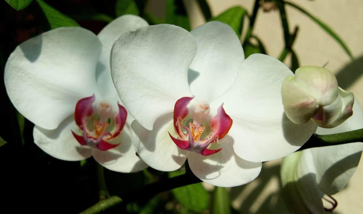 As orquídeas brancas necessitam dos mesmos cuidados que qualquer planta da mesma espécie.