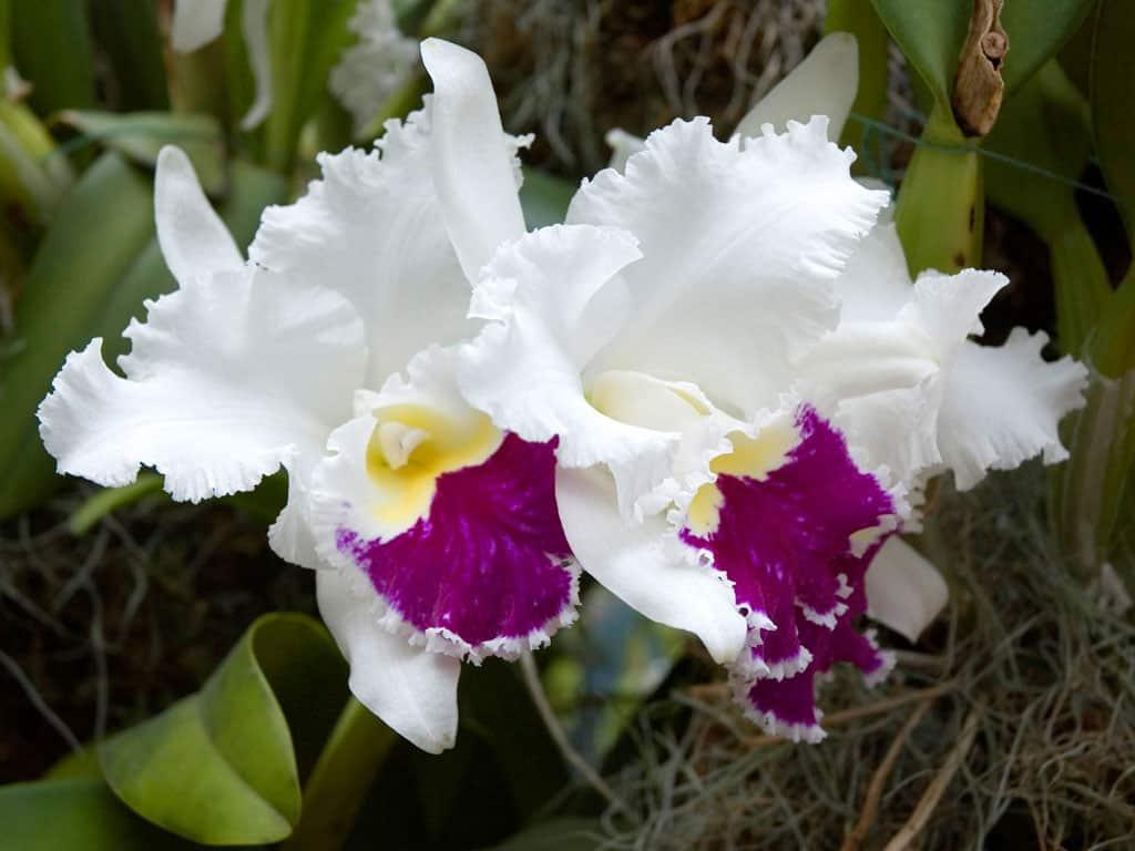 As orquídeas brancas representam a pureza, tranqulidade e amor puro.