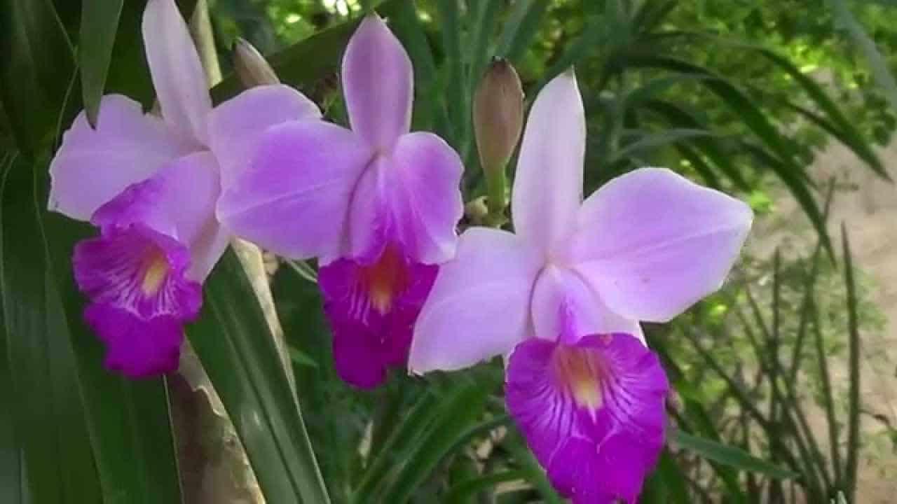 A orquídea-bambu é uma espécie terrestre.